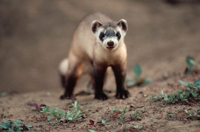 Photo: The endangered black-footed ferret was saved from extinction through captive breeding programs.