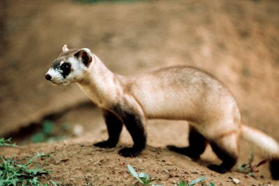 Photo: The endangered black-footed ferret was saved from extinction through captive breeding programs, like this one in Sybille Canyon, WY.