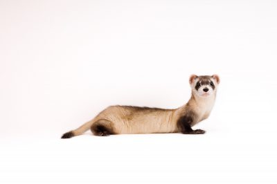Picture of an endangered (IUCN) and federally-endangered black-footed ferret (Mustela nigripes) at the Cheyenne Mountain Zoo.