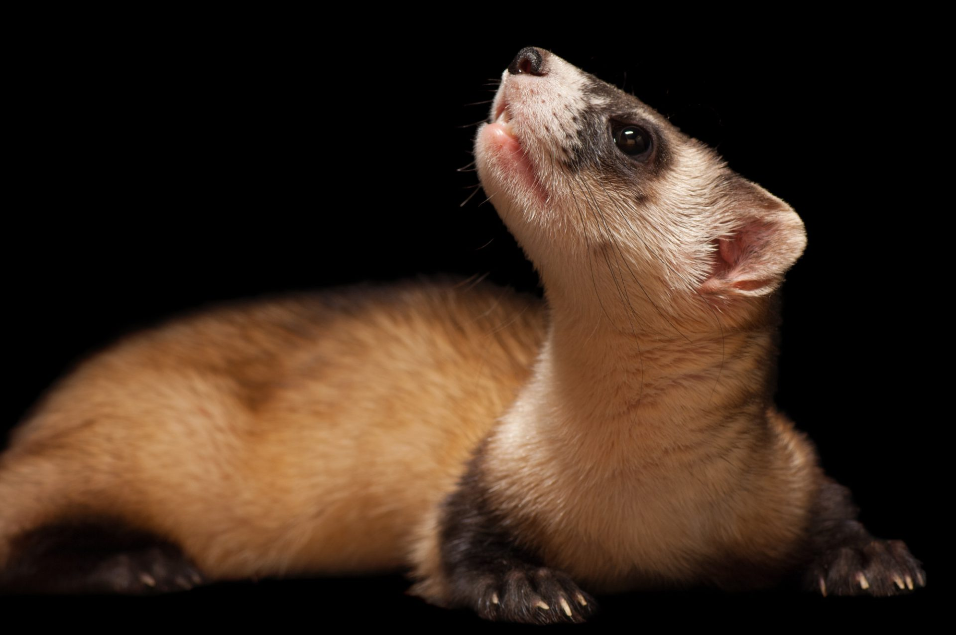 pictures-of-black-footed-ferret-hip-hop-babe-fucked