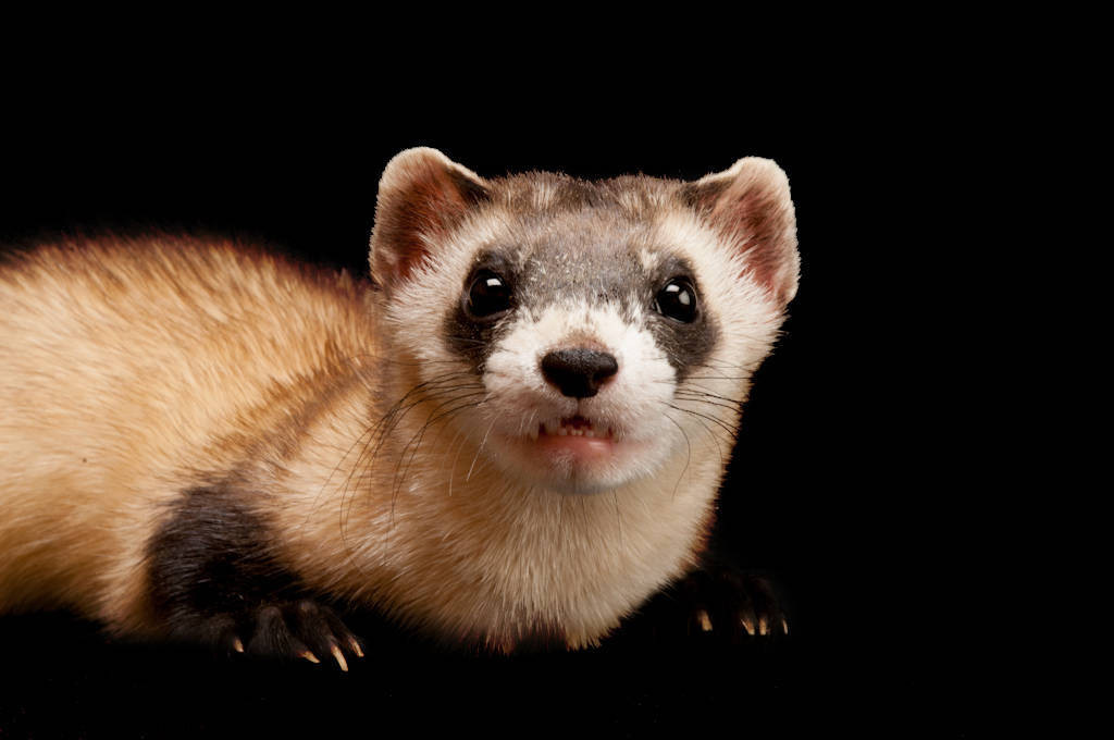 Picture of an endangered (IUCN) and federally endangered black-footed ferret (Mustela nigripes) at the Cheyenne Mountain Zoo.