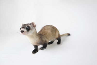 Picture of an endangered (IUCN) and federally endangered black-footed ferret (Mustela nigripes) Omaha's Henry Doorly Zoo.