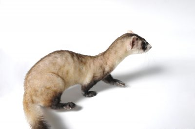 Picture of an endangered (IUCN) and federally-endangered black-footed ferret (Mustela nigripes) Omaha's Henry Doorly Zoo.