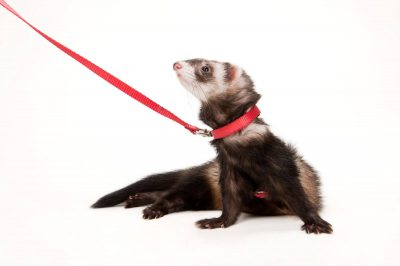 Mary, a domestic ferret (Mustela putorius furo), at the Capital Humane Society.
