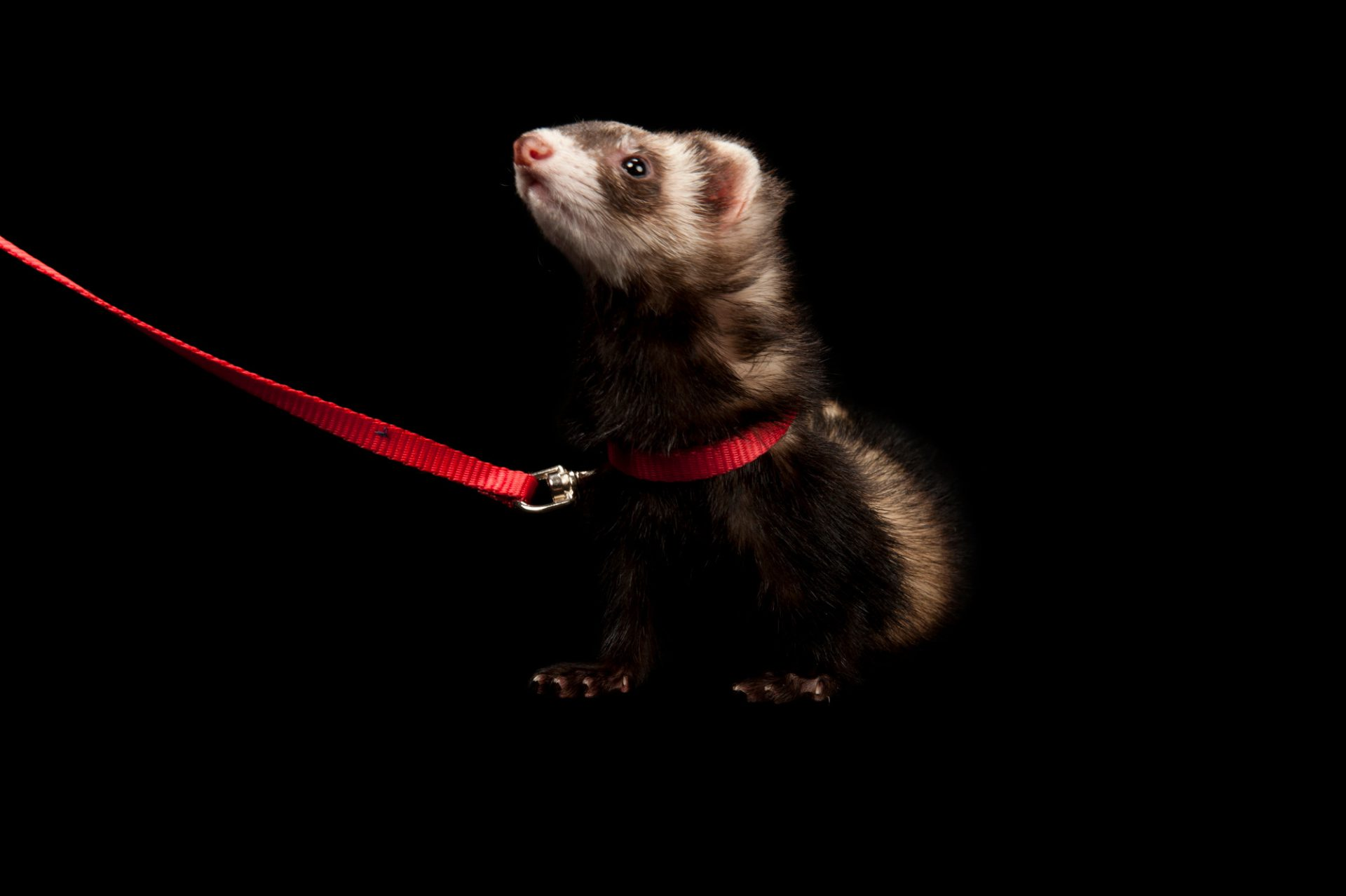 Mary, a domestic ferret (Mustela putorius furo), at the Capital Humane Society.