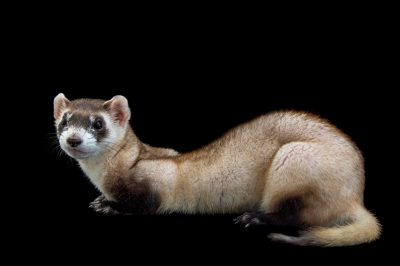 Picture of an endangered (IUCN) and federally endangered black footed ferret (Mustela nigripes) named Jamille at the Toronto Zoo.