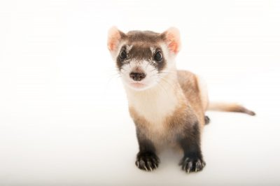 Picture of an endangered (IUCN) and federally endangered black footed ferret (Mustela nigripes) at the Toronto Zoo.