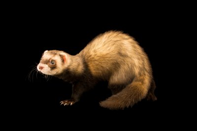 Photo: European polecat (Mustela putorius) at the Moscow Zoo.