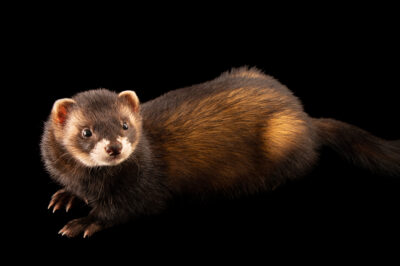 Photo: A European polecat, Mustela putorius putorius, at Wildwood Trust near Canterbury, England.
