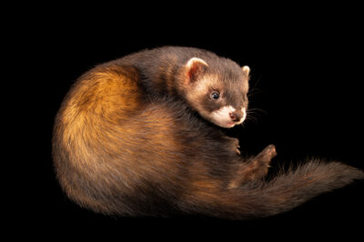 Photo: A European polecat (Mustela putorius putorius) at Wildwood Trust near Canterbury, England.