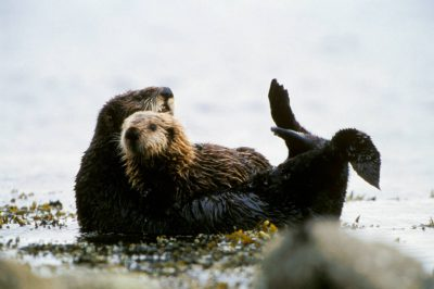 Photo: An endangered sea otter (Enhydra lutris) and its pup on Adak Island in Alaska's Pribilof Islands.