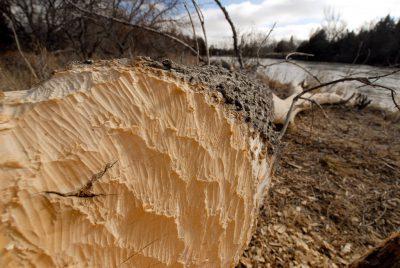 Photo: A box elder tree felled by beavers along the Loup River near Halsey, Nebraska.