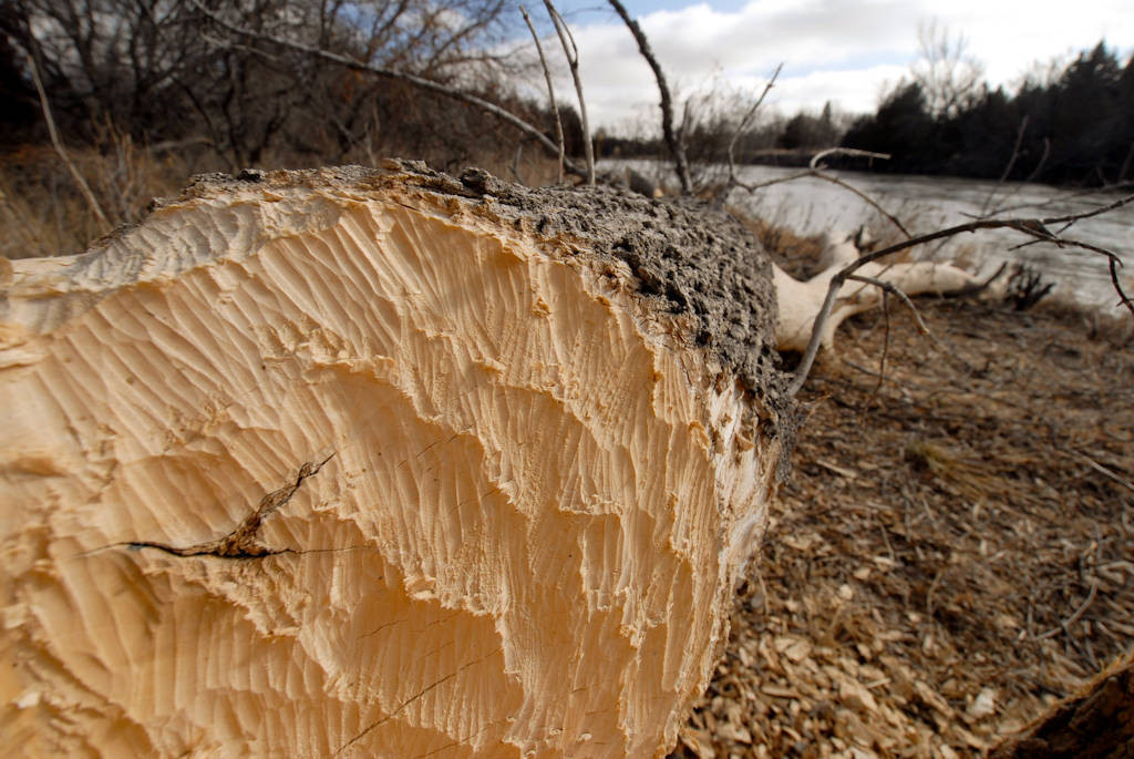 Photo: A box elder tree felled by beavers along the Loup River near Halsey, Nebraska.