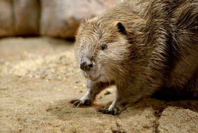A North American beaver (Castor canadensis) at the Omaha Zoo, Omaha, Nebraska.