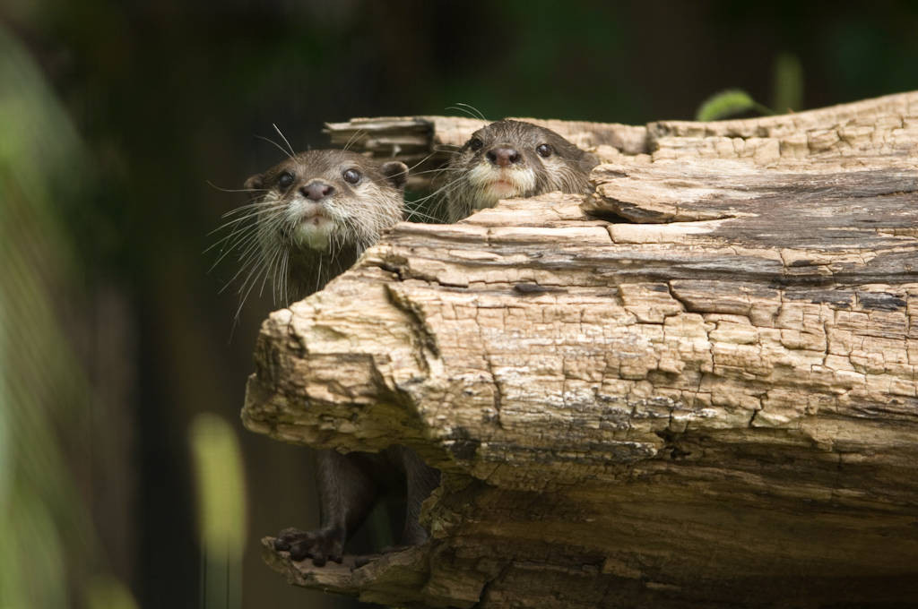 Vulnerable Asian small-clawed otters (Aonyx cinerea) at the Sunset Zoo, Manhattan, Kansas.
