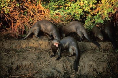 A group of endangered (IUCN) and federally endangered giant otters (Pteronura brasiliensis) in Brazil's Pantanal region.
