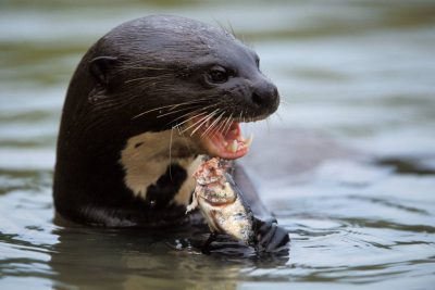 An endangered (IUCN) and federally endangered giant otter (Pteronura brasiliensis) consumes fish in Brazil's Pantanal region.