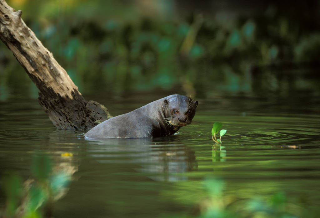 An endangered (IUCN) and federally endangered giant otter (Pteronura brasiliensis) in Brazil's Pantanal region.