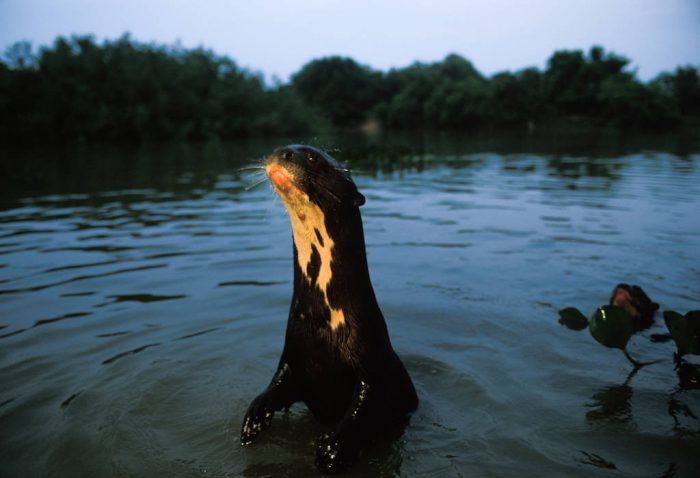 An endangered (IUCN) and federally endangered giant otter (Pteronura brasiliensis) surveys the surface of the Pixaim River in the Pantanal. This otter is from a family of seven adults which has been habituated over the years by tourists feeding them fish from their boats.