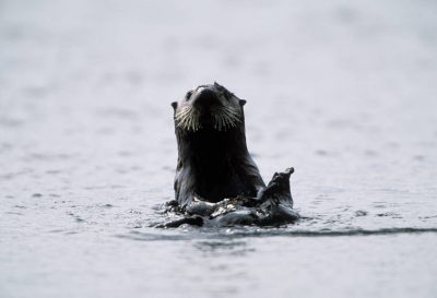 Photo: An endangered sea otter (Enhydra lutris) on the edge of Clam Lagoon on Adak Island, Alaska.