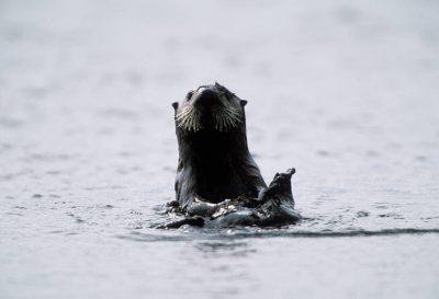 Photo: An endangered sea otter (Enhydra lutris) on the edge of Clam Lagoon on Adak Island, Alaska.