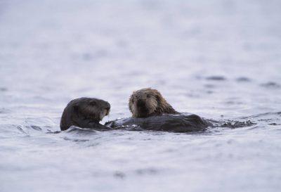 Photo: Endangered sea otters (Enhydra lutris) on the edge of Clam Lagoon on Adak Island, Alaska.