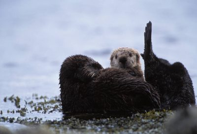 Photo: Endangered sea otters (Enhydra lutris) on the edge of Clam Lagoon on Adak Island, Alaska.