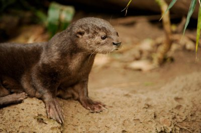 Photo: A spotted-necked otter (Lutra maculicollis) at the Omaha Zoo, Omaha, Nebraska.