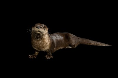 A North American river otter (Lontra canadensis) at the Lincoln Children's Zoo, Lincoln, Nebraska.