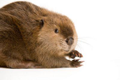 A North American beaver (Castor canadensis) Nebraska Wildlife Rehab.