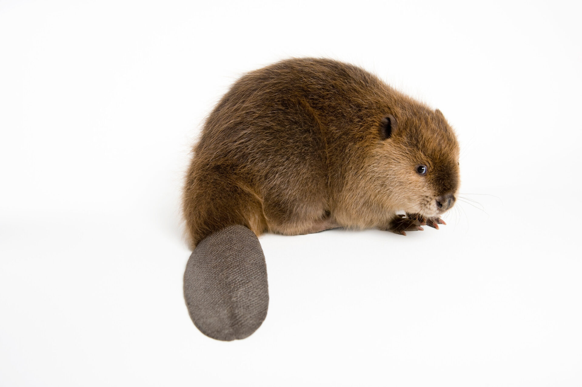 A North American beaver (Castor canadensis).