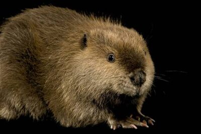 A North American beaver (Castor canadensis).