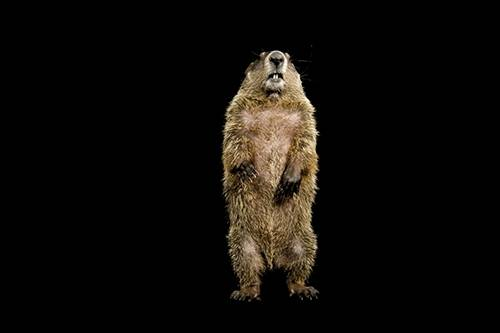 A groundhog (Marmota monax).