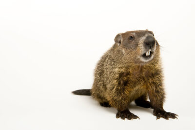 A groundhog (Marmota monax) photographed in Omaha, NE.