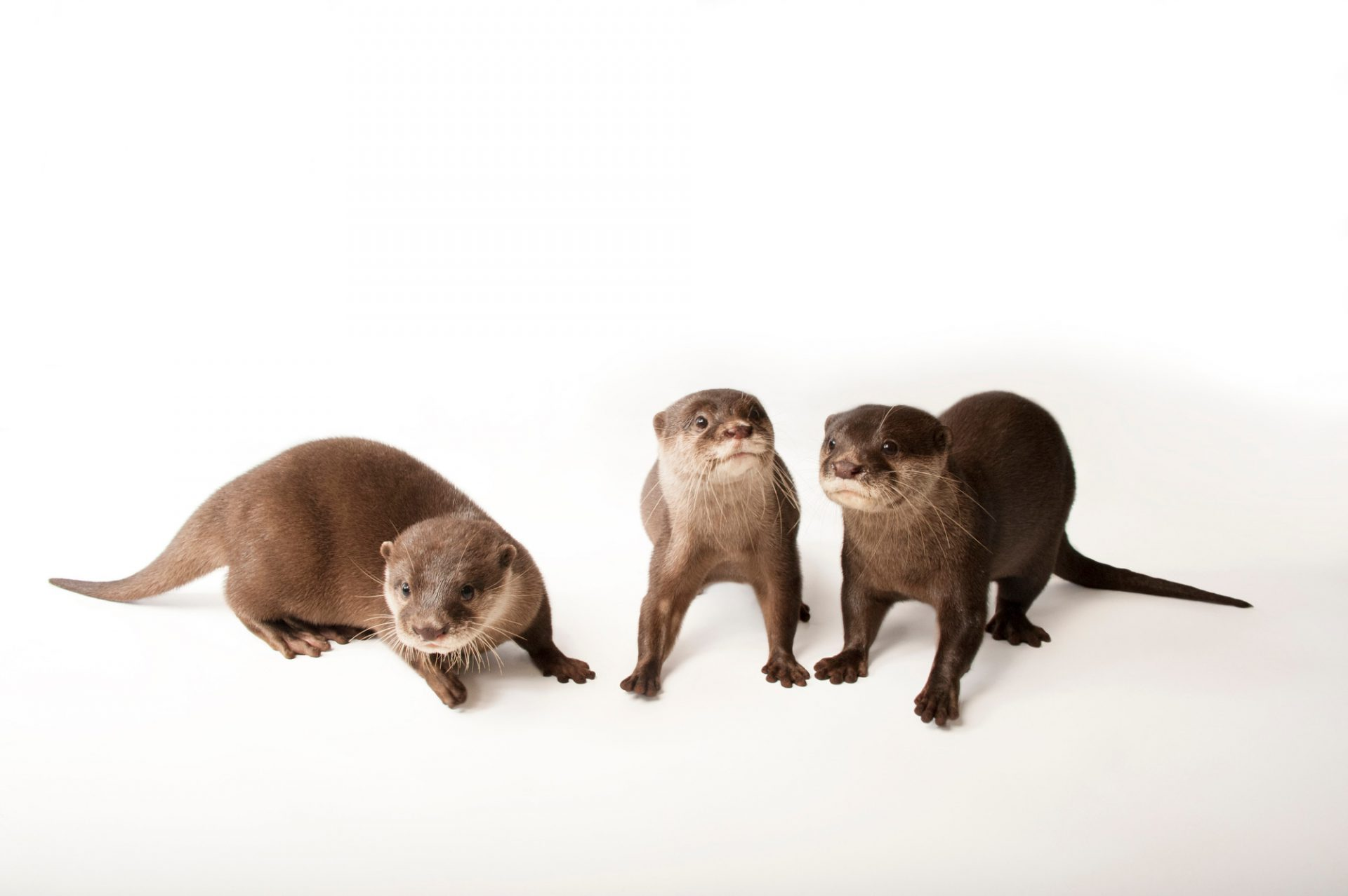 Vulnerable Asian small-clawed otters (Aonyx cinerea) at the Omaha Zoo.