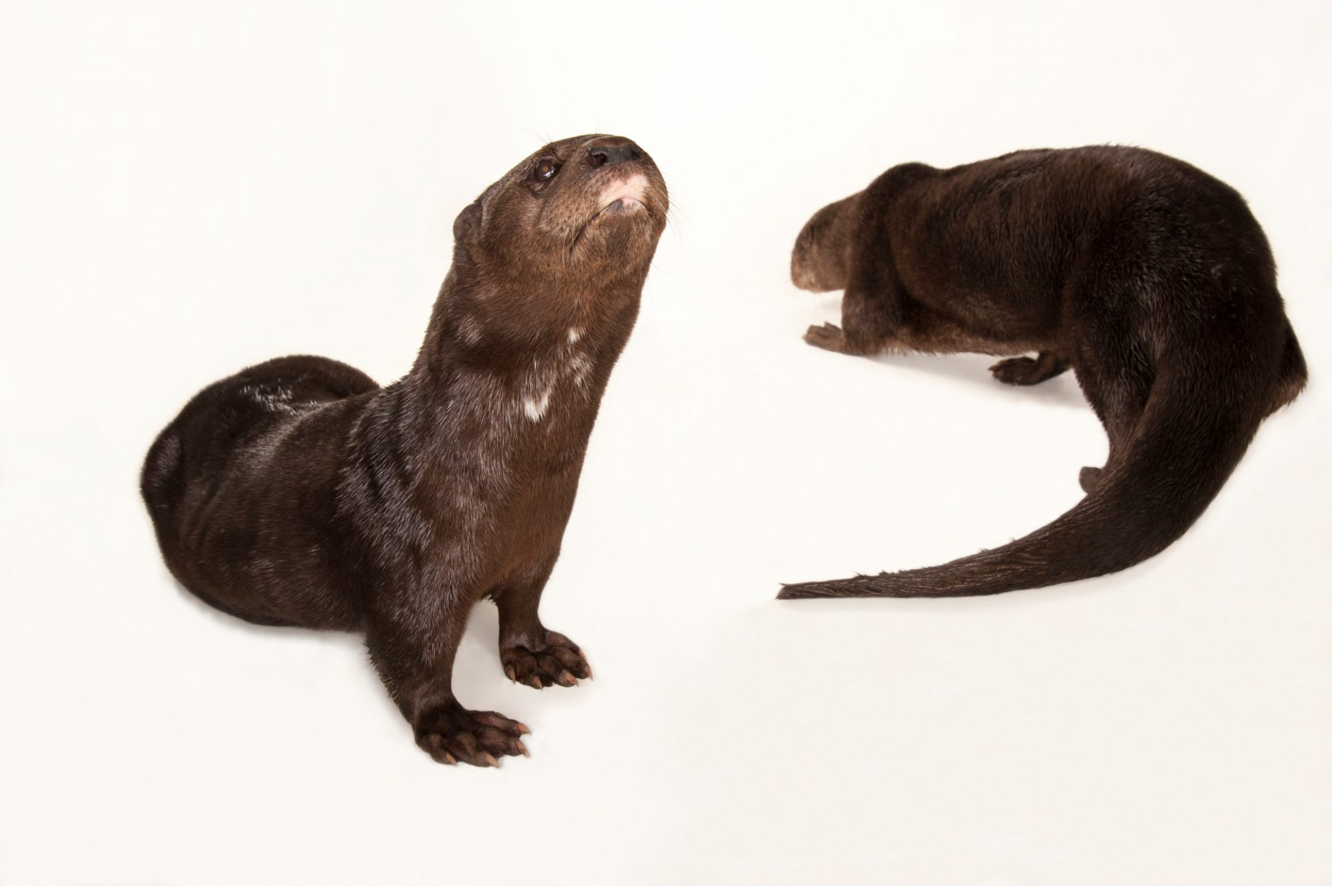 Spotted-necked otters (Hydrictis maculicollis) at the Omaha Zoo.
