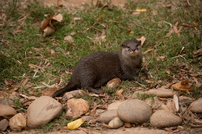 A vulnerable Asian small-clawed otter (Aonyx cinerea).