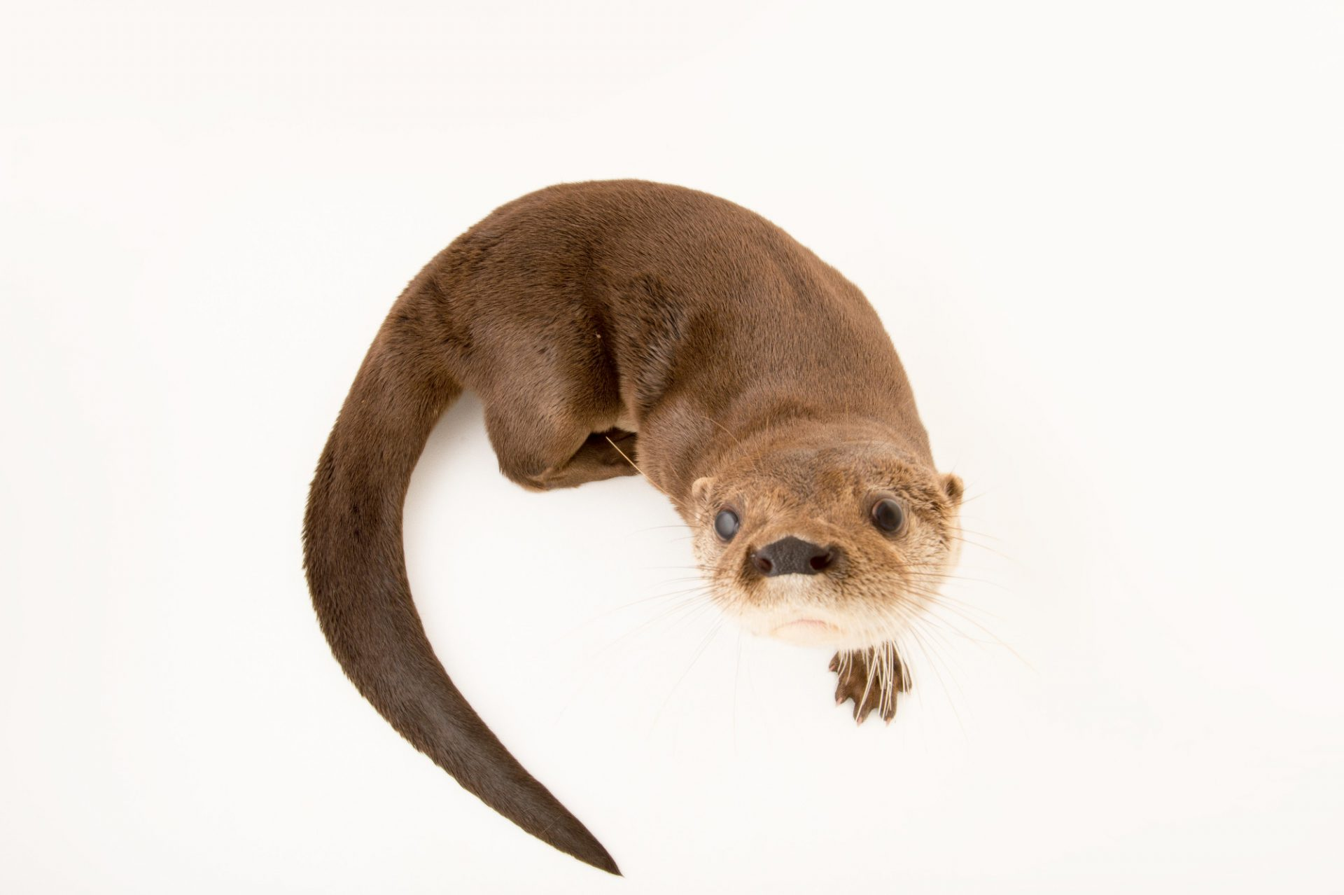Picture of a federally endangered, female Neotropical river otter (Lontra longicaudis) at the Summit Municipal Park in Gamboa, Panama.