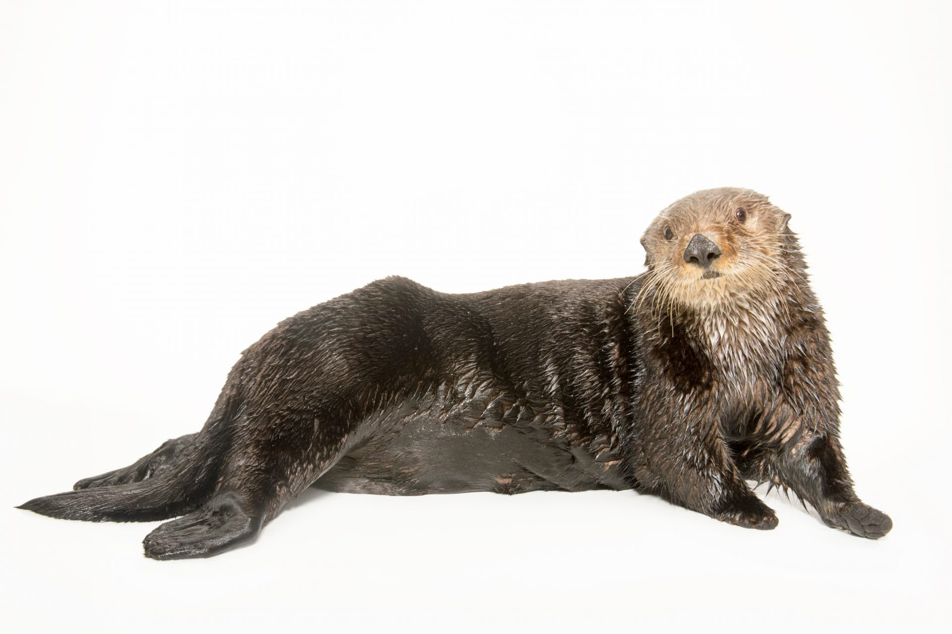 Picture of an endangered (IUCN) and federally threatened Northern sea otter (Enhydra lutris kenyoni) named Capers at the Minnesota Zoo. Capers was found orphaned on the Alaska coast line in Port Graham, AK, in May 2006.