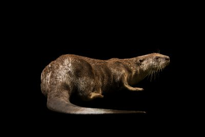 Photo: Smooth-coated otter (Lutrogale perspicillata) at Taiping Zoo.