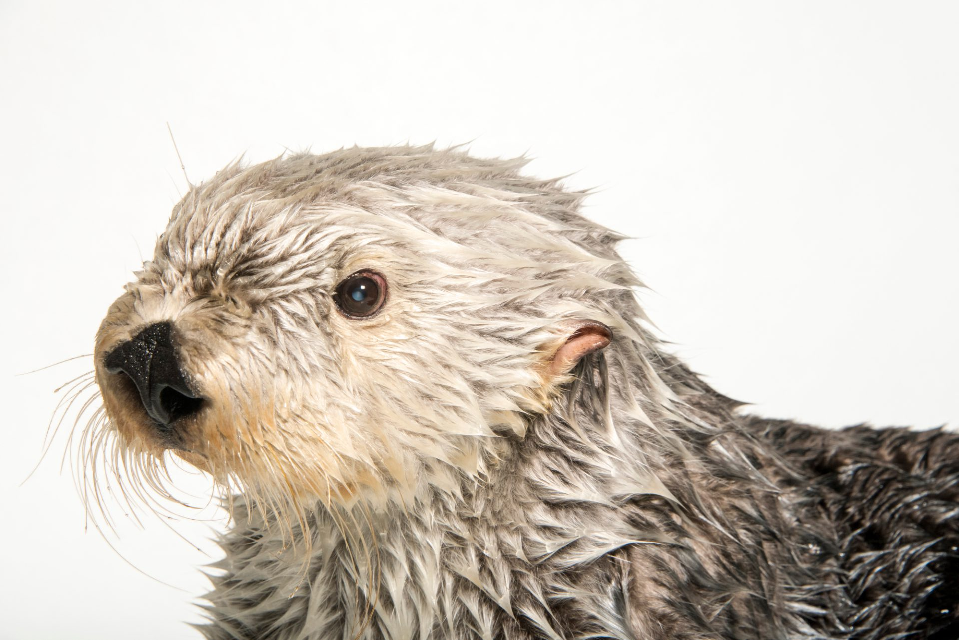 Photo: A southern sea otter (Enhydra lutris nereis) named Brook, age 19.