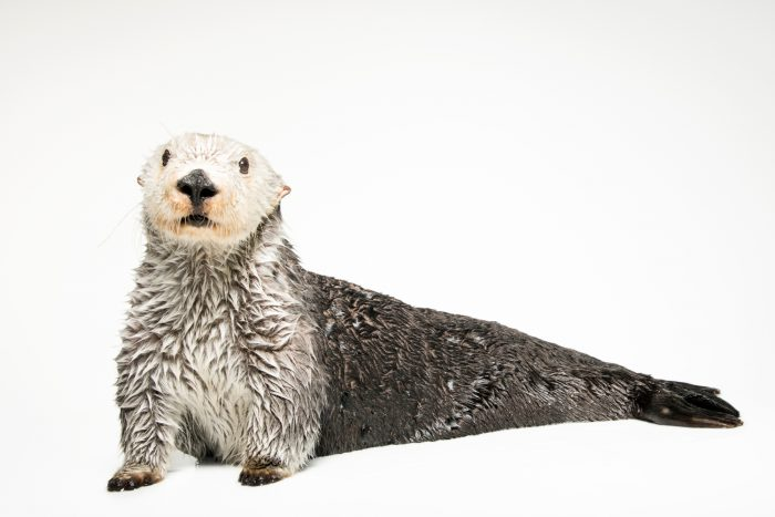 Photo: A southern sea otter (Enhydra lutris nereis) named Brook, age 19.