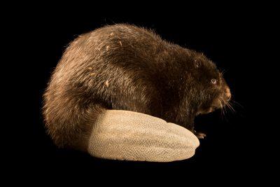 Photo: Eurasian beaver (Castor fiber) at the Moscow Zoo.