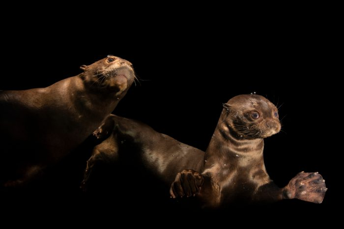 Photo: Endangered giant river otters (Pteronura brasiliensis) at the Dallas World Aquarium.