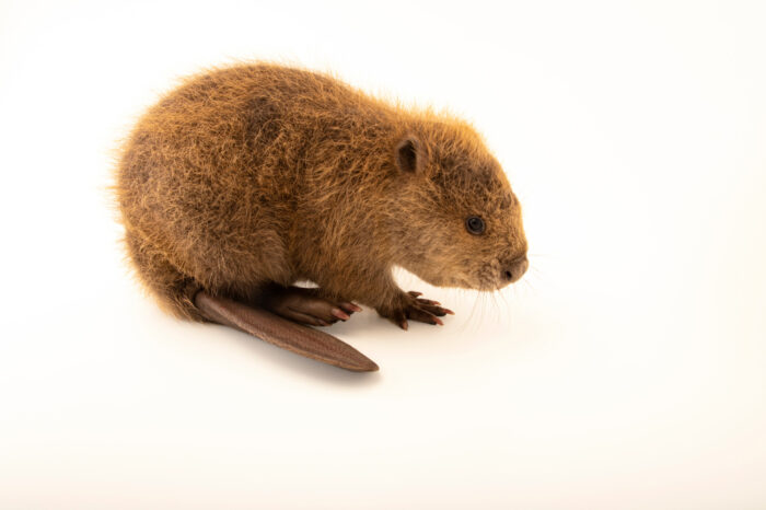Photo: A juvenile North American beaver (Castor canadensis) at the WildCare Foundation, a wildlife rehabber in Noble, Oklahoma.