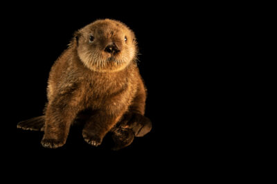 Photo: A juvenile endangered Northern sea otter (Enhydra lutris kenyoni) at SeaWorld San Diego.