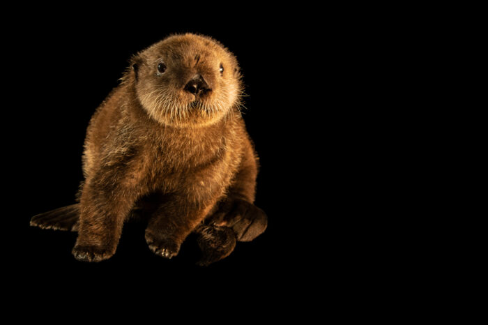 Photo: A juvenile endangered Northern sea otter (Enhydra lutris kenyoni) at SeaWorld San Diego.