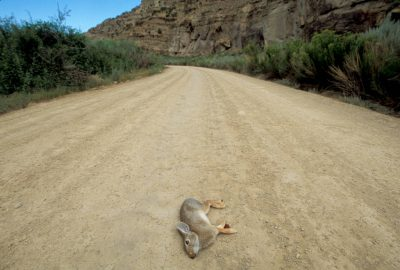Photo: Road-killed rabbit near Price, Utah