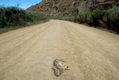 Photo: Road-killed rabbit near Price, Utah