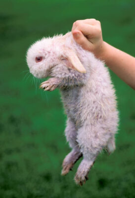 Photo: An albino rabbit, dyed pink for Easter with Kool-Aid, on a farm near Greenleaf, KS.